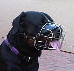Diesel Rottweiler enjoys wearing Wire Basket Dog Muzzle