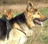 Diesel in Non-Restrictive Dog Harness Designed for German Shepherd