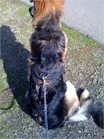 Dilbar wearing our All Weather dog harness for tracking / pulling Designed to fit German Shepherd - H6