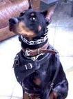 Padded Leather dog collar - C24_6