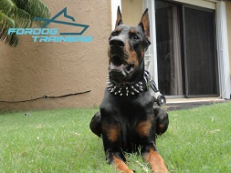 Doberman Has Excellent Look in Black Spiked Dog Collar