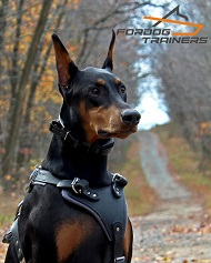 *Ripley Looks Kingly in LeatherDog Harness for Doberman