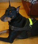 Sergio looks brilliant in All Weather Reflective harness H6plus - (5 sizes available)