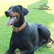 Noble *Raven Posing in Her New Cool Design Tan Leather Dog Collar for Doberman