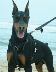 Leather Dog Tracking Harness for Doberman