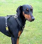 Great looking Doberman wearing our Luxury handcrafted leather dog harness H7_1