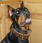 Gorgeous Doberman wearing our 2 ply leather agitation dog collar-C33NH_3