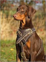 Protection/Agitation/Attack Best Leather Dog Harness H1