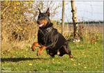 Agitation / Protection / Attack Dog Harness Perfect For Your Doberman H1