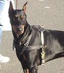 Tracking / Pulling / Agitation Leather Dog Harness For Doberman