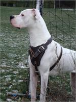 Agitation / Protection / Attack Leather Dog Harness Perfect For Your Dogo Argentino H1