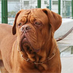 Dogue-de-Bordeaux is feast for the eyes in 51604(67) This CUROGAN FUR SAVER recommended by VDH member of F.C.I. ( Made in Ger