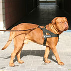 Dogue-de-Bordeaux adores his Better control everyday all weather dog harness - H17