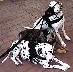 All Weather Nylon dog harness for tracking / walking Designed to fit Dalmatian - H6