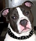 Dozer wearing our exclusive Black Nylon Spiked Dog Collar - SN33