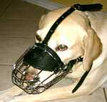 Duke Labrador looks amazing in our Basket Wire Dog Muzzle Light - M4light