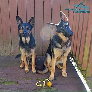 *Eli and Rylee German Shepherds Trying on Their Nylon Harness