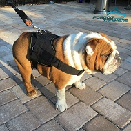 *Lola Demonstrates Dog Nylon Harness for Bulldogs - Best Design for Training & Walking