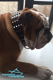 Studded Leather Dog Collar - Perfect Gear for English Bulldog