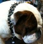 Bruce has pleasant look in 20%Discount - 3 Rows Leather Spiked and Studded Dog Collar -S55