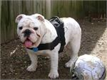 *Balah wearing our exclusive dog harness for tracking/pulling Designed to fit English Bulldog- H6