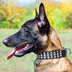 Wide Leather Belgian Malinois Collar With 3 Rows of Nickel Pyramids
