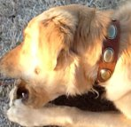 Fillmore is amazing in Retro Rulz - Gorgeous Vintage Dog Leather Collar - C103