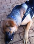 Diesel and Sascha are confident in Better control everyday all weather dog harness