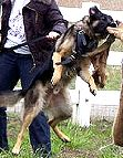 Training Dog Harness - H1 for Agitation/Protection/Attack work - works perfect for walking of large dogs as well