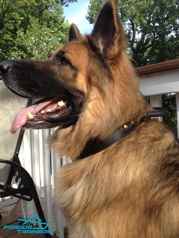 *Duke Wearing 2 Ply Leather Agitation German Shepherd Collar