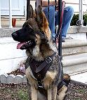 Agitation / Protection / Attack Leather Dog Harness - H1_6