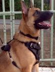 *Rockey is so cool in Agitation / Protection / Attack Leather Dog Harness - H1