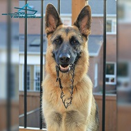 *Brynn German Shepherd with Pinch Dog Collar of Black Stainless Steel