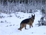 German Shepherd wearing our exclusive Pinch collar nylon protector - np200-1