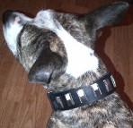Stylish dog wearing Dazzling leather dog collar with shiny plates
