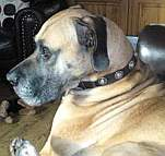 *Troy likes new purchase Gorgeous Wide Leather Dog Collar - Fashion Exclusive Design - c73_1
