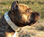 Hammer wearing our exclusive Gorgeous War Dog Leather Dog Collar - Like in the movies - c83