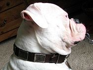 Gorgeous Hector is wearing our War Dog Leather Dog Collar - Like in the movies - c83