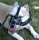 Honey Pit Bull looks Gorgeous wearing Wire Basket Dog Muzzle on - M4