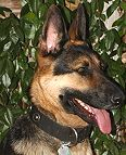 German Shepherd Studded Nylon Dog Collar for Daily Any Weather Activities