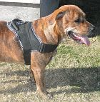 Jersey Pitbull Looking Gorgeous In All Weather Nylon Harness - H6