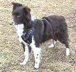 *Joey wearing our exclusive Agitation / Protection / Attack Leather Dog Harness Perfect For Your Australian Shepherd H1