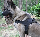 Kimo Akita looking Great in All Weather Extra Strong Nylon Harness - H6