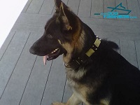 *Kino Presents his Vintage War Style Leather German Shepherd Collar
