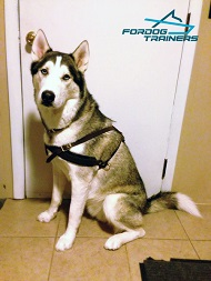 Husky Loves Handcrafted Leather Dog Harness