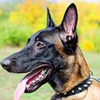 Leather Belgian Malinois Collar With One Row of Spikes