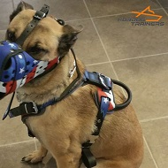 Belgian Malinois Looks Perfect in Leather Dog Harness with Handpainted American Flag
