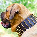 Fascinating Extra Wide Leather Cane Corso Collar with Hand-Set Brass Spikes