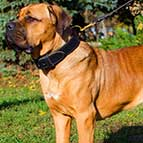 Comfortable 2 Ply Leather Cane Corso Collar for Agitation Training