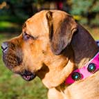 Fancy Leather Cane Corso Collar with Beautiful Circles and Blue Stones